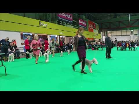 Crufts 2019 - Bedlington Terrier - Open Dog