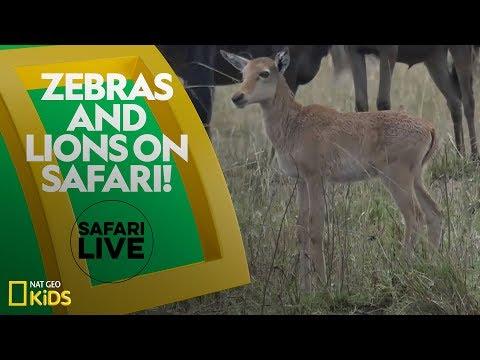 Zebras and Lions on Safari! | Safari Live