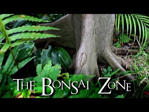 The Ficus lyrata is a terrible tree for Bonsai. Why I'm starting one! The Bonsai Zone April 2018