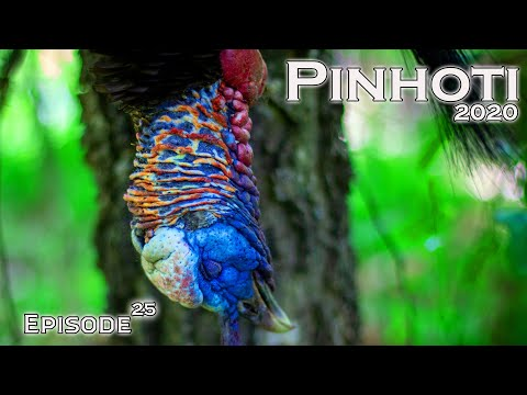 LONELY LATE SEASON GOBBLERS   the TIME is RIGHT   GEORGIA TURKEY HUNTING- Pinhoti 2020