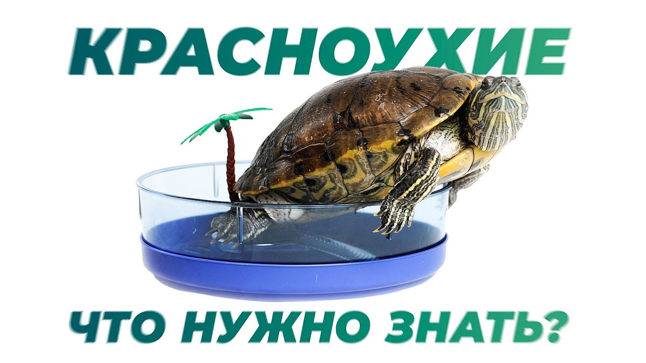 Красноухая черепаха.  Содержание дома.  Интересные факты.