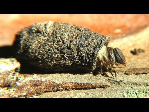 Необычная личинка жука листоеда, Larva Of Leaf Beetle