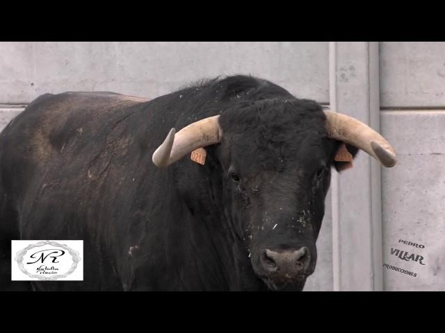 Toros de Vellosino para Guijuelo 2017