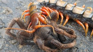 СКОЛОПЕНДРА ПРОТИВ паука, скорпиона, змеи, богомола, телифона и даже летучей мыши!