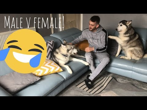 The Funny Differences Between Male and Female Huskies!