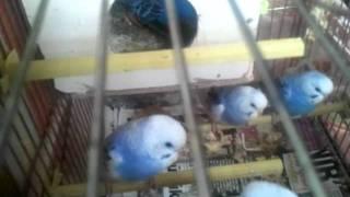 5 günlük yavru muhabbet kuşunu anne kuş besliyor