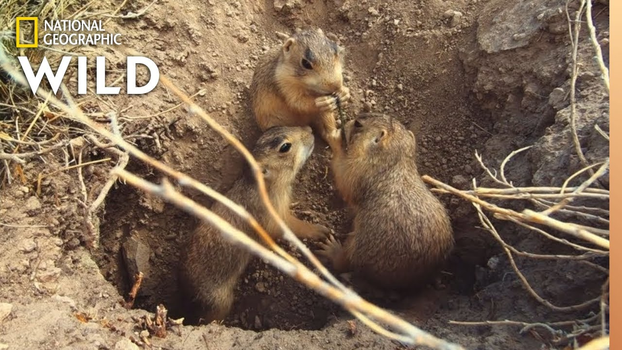 A Prairie Dog Pup Forages For Food | Prairie Dog Manor