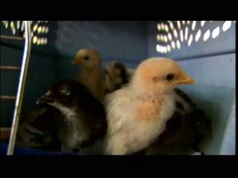 Key West Chicken War