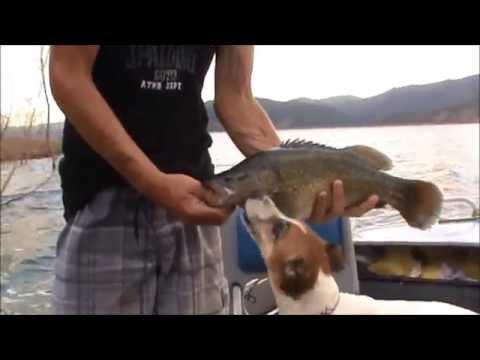 MURRAY COD FISHING  BLOWERING DAM NSW
