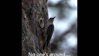 Red Bellied Woodpecker Attempting A Nest Takeover