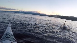 Orcas at Ford's cove,Hornby island,B.C.,Canada