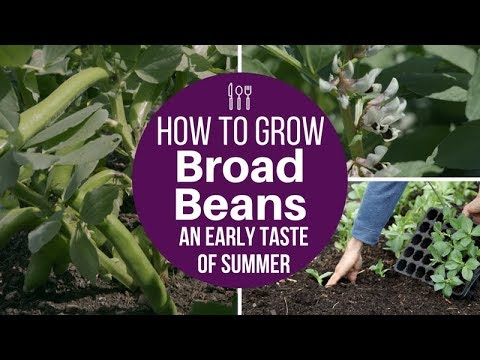 Ways to grow and pick broad beans, showing results of sowing both autumn and spring