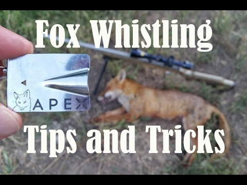 How To Whistle In Foxes.  Fox Whistling Tips And Tricks
