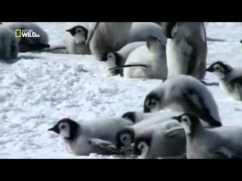 Пингвины необычные птицы