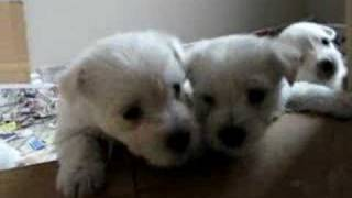 1 Month Old Westie / Maltese X Puppies 3