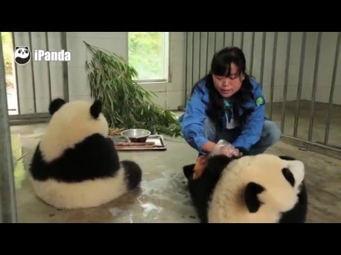 This Is The Proper Way To Hand Wash A Panda