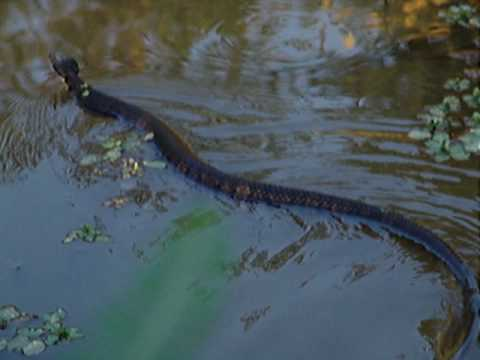 Swimming Water Moccasin Snake Youtube