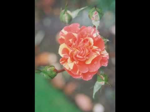 "Minnie Riperton ""Les Fleurs"" Betty's Rose Gallery 6"