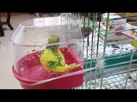 Muhabbet Kuşu Nasıl Banyo Yapar? -  Buddy Bird, How To Make A Bath?