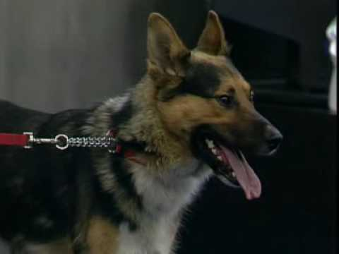 SPCA dogs get out of hand on the news (high quality)