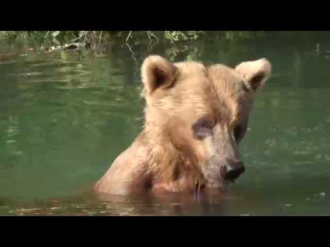 Up Close and Personal with a Bear at Wolverine Creek, Alaska