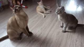 Бурма. Котята.  Кот летун  1