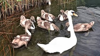 Белые лебеди вернулись к нам, лебедята уже подросли.