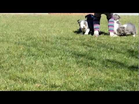 UKC GOTTILINE/RAZORS EDGE BULLY PUPPIES FOR SALE