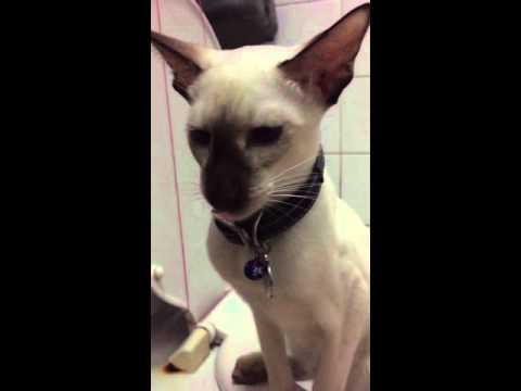 Toilet trained Siamese cat