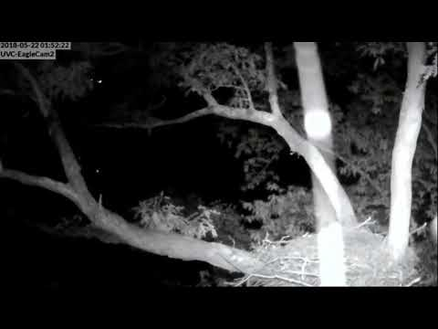DHEC ~ DH5 Falls Off Of Branch ~ NOT Attacked by Owl 2018 05 22