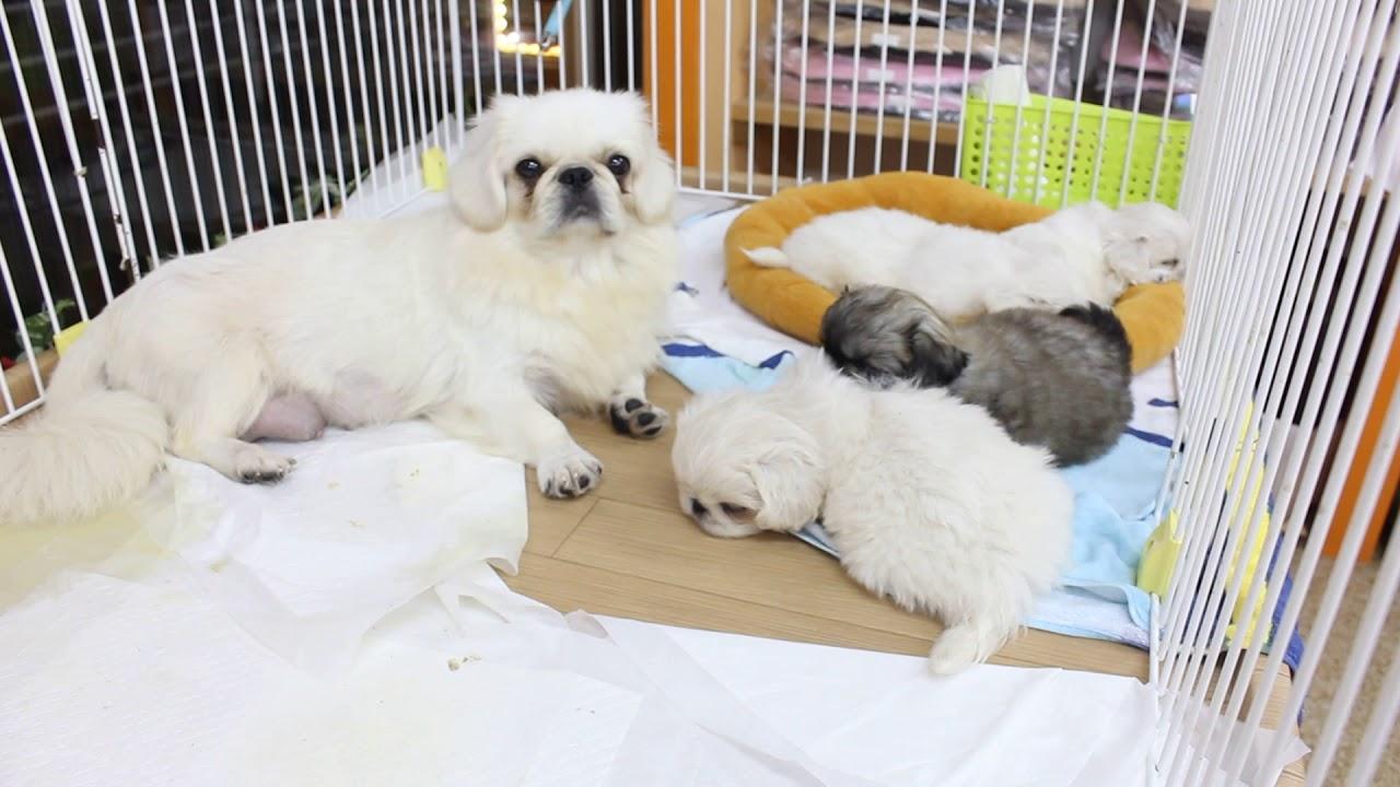 ペキニーズ子犬(2017/10/5生)神奈川県ペキニーズブリーダーで