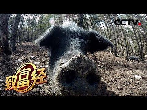 《致富经》缺耳朵 断尾巴 他把破了相的猪卖高价 20190528 | CCTV农业