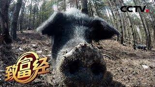 《致富经》 20190528 缺耳朵 断尾巴 他把破了相的猪卖高价| CCTV农业