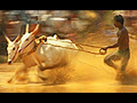 Bull Race Bull surfing Maramadi Rural Village Sports Kakkoor Kerala India