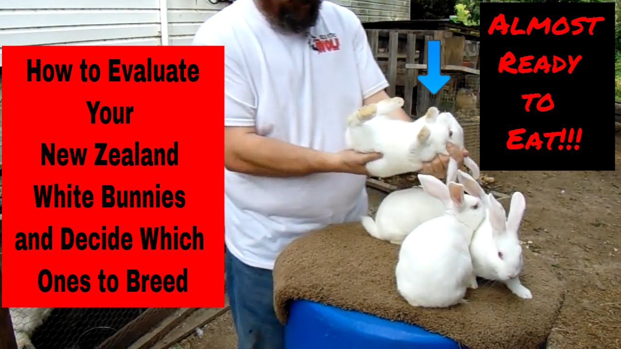 New Zealand White Rabbits How To Evaluate Your New Zealand White Bunnies And Decide Who To Keep