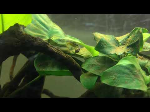 Ep.7 Your Pea Puffer Feeding Questions Answered.