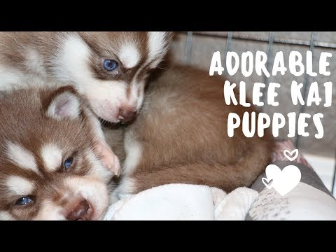 Adorable Alaskan Klee Kai puppies 4 wks old