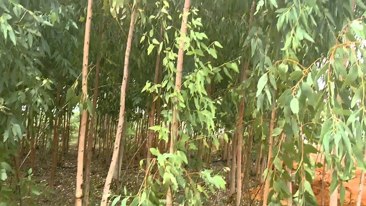 Eucalyptus Plantation Of Less Than Two Years Age Plants Youtube