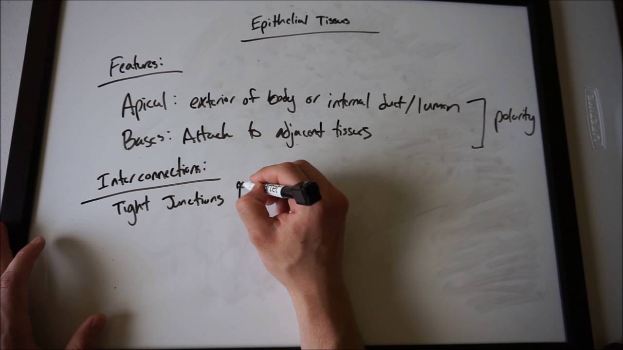 Epithelial Tissues (Anatomy and Physiology) - YouTube