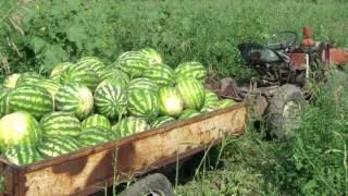 Как Адам выращивал арбузы и тыквы.