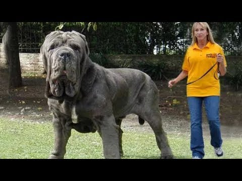 Top 10 Abnormally Large Dogs In The World
