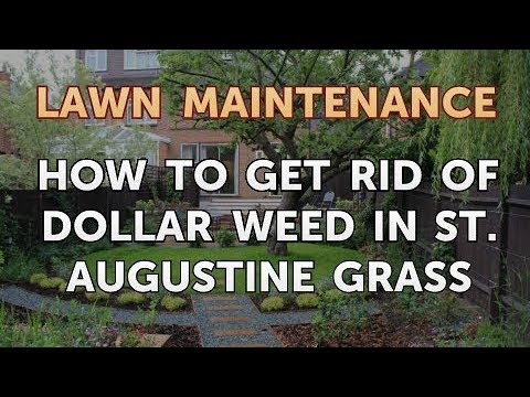 How To Get Rid Of Dollar Weed In St Augustine Gr You