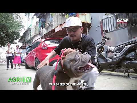 AGRITV October 13, 2019 Episode - HAPPY PETS - American Bully