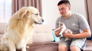Golden Retriever Meets New Adopted Baby Kitten First Time