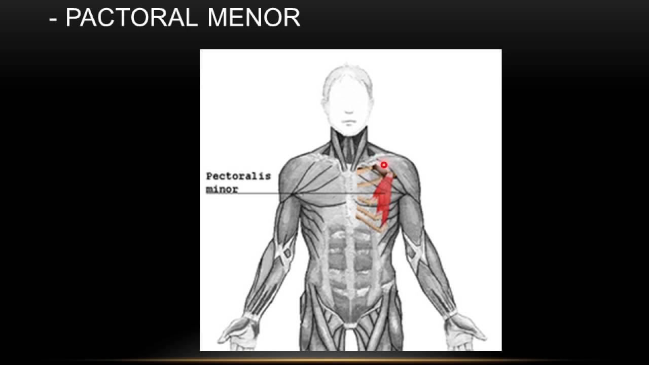 Los músculos (Tronco - Tórax - Abdomen) - YouTube
