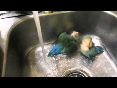 Cute love birds take a bath