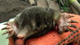 Как поймать крота самый эффективный метод but how to catch a mole