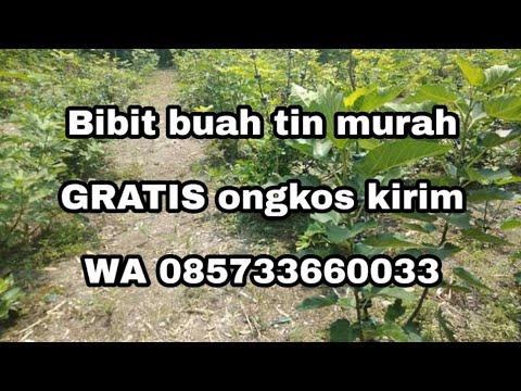 jual-bibit-zaitun-dan-bidara-bandung-gratis-ongkir-wa-085733660033-tin-dan-delima