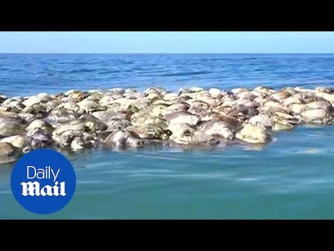 300 Endangered Turtles Die Trapped In Illegal Fishing Net