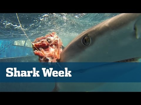 Shark Fishing; How To Catch Big Sharks